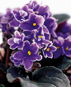 African violets: Easy houseplants - Canadian Gardening