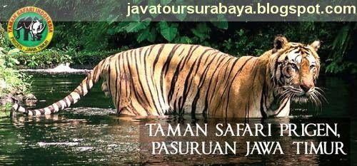 PAKET WISATA INDONESIA | TOUR WISATA MURAH | JELAJAH NUSANTARA | TRAVEL SENTOSA EXPRESS: JELAJAH PASURUAN SAFARI   http://www.javatoursurabaya.blogspot.com/