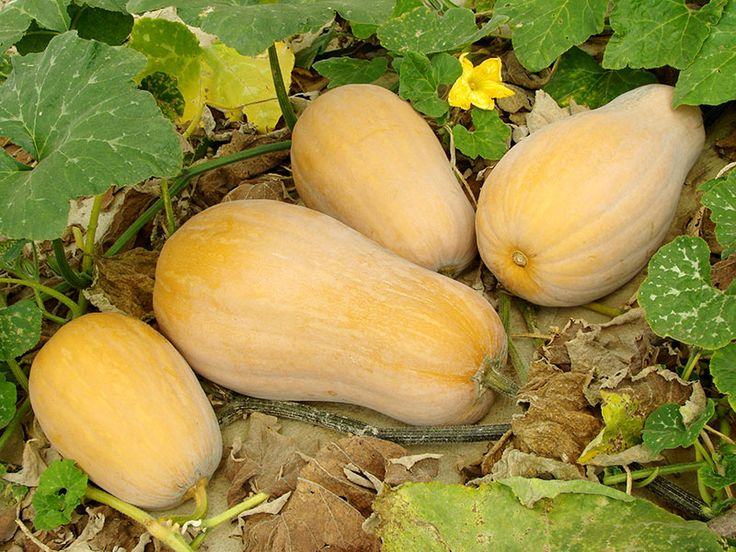 For first time, when to pick butternut squash is an important fact to remember. Also learn on how to harvest butternut squash properly.