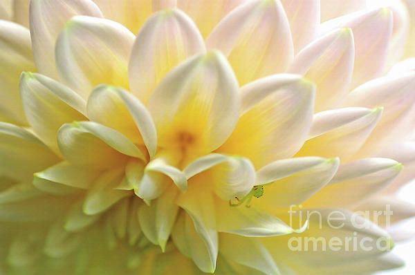 Abstract Macro photograph of a #patterned yellow white dahlia.  #Dahlia #Patterns by #Kaye_Menner #Photography Quality Prints Cards Products with a money-back guarantee at: https://kaye-menner.pixels.com/featured/dahlia-patterns-by-kaye-menner-kaye-menner.html