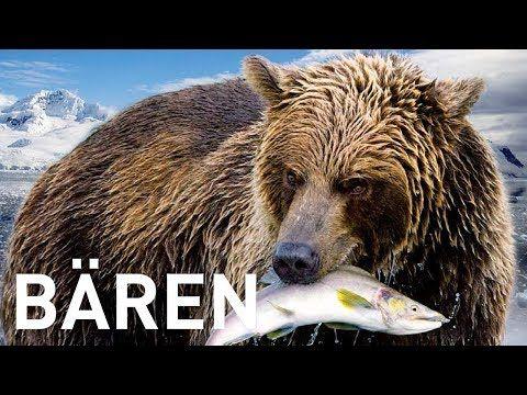 Bären – Einzigartige Aufnahmen dieser wilden Tiere Der Bär bewohnt die unterschiedlichsten Lebensräume, angefangen vom Eis der Arktis über die Wälder der mittleren Breitengrade bis zum tropischen Regenwald. Der im hohen Norden beheimatete, schwergewichtige Eisbär ist die zweitgrößte...