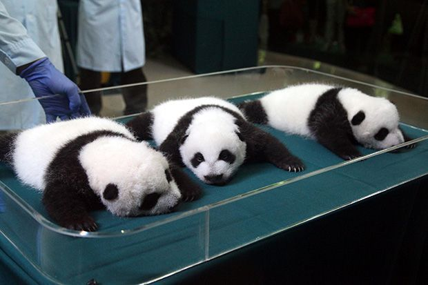 Panda Peering: Panda triplets get a checkup at Chimelong Safari Park in China's Guangdong province on Sept. 18. The day marked the first time the month-old trio opened their eyes. (Photo: ChinaFotoPress/Getty Images)