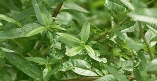 #Υγεία #Διατροφή «Χόρτο του Θεού» – Το θαυματουργό βότανο! ΔΕΙΤΕ ΕΔΩ: http://biologikaorganikaproionta.com/health/201709/