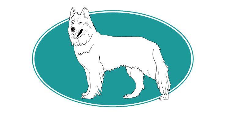 Assur O'Poil la Mutuelle Chiens parle du Berger blanc suisse est un chien qui se distingue par son caractère affectueux et loyal. Pour plus d'informations, rendez-vous sur http://www.assuropoil.fr
