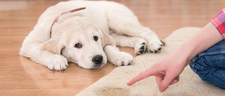 L'apprentissage de la propreté débute dès que votre chiot arrive à la maison et c'est une réelle implication pour vous !