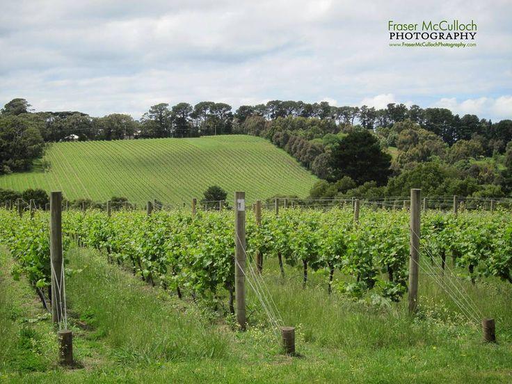 Vineyard  A typical scene on the Morning Mornington Peninsula. Victoria, Australia.   #wine #vineyard #morningtonpeninsula #farming #australia #victoria #redwine #whitewine #vine #drink #winetasting #winetour #green #frasermccullochphotography