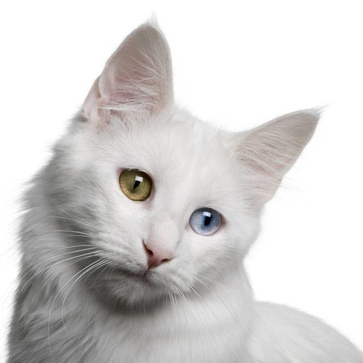 Olhar de um gato Angorá