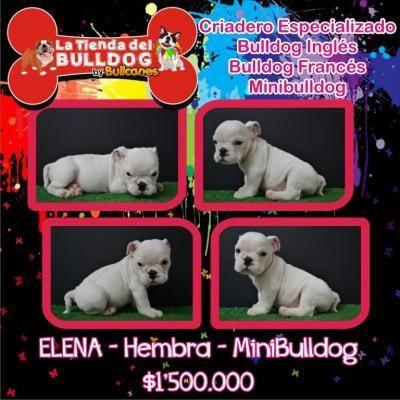 Bulldog Ingles Cachorros en Venta http://medellin.clicads.com.co/bulldog_ingles_cachorros_en_venta-1970331.html
