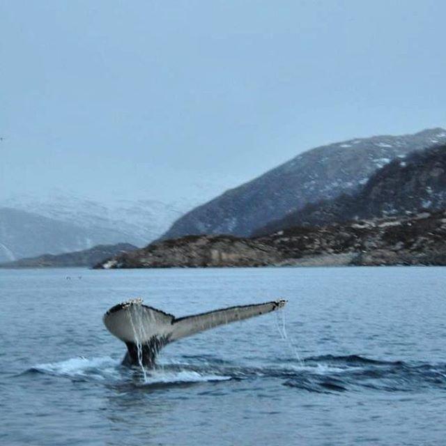 What a beauty! #humpbackwhale #whalesafari #whale #kvaløya #tromsø #tromsøfriluftsenter #norway #nordic #scandinavia #igscandinavia #igscwildlife #wildlifephotography #wildlifephoto #topåtur #twodanesontour #visitnorway #danskerejseblogs #rejseblog #turengårtil #lonelyplanet #lonelyplanettraveller #animalphotography #animalelite #animallovers #tromsøfriluftsenter