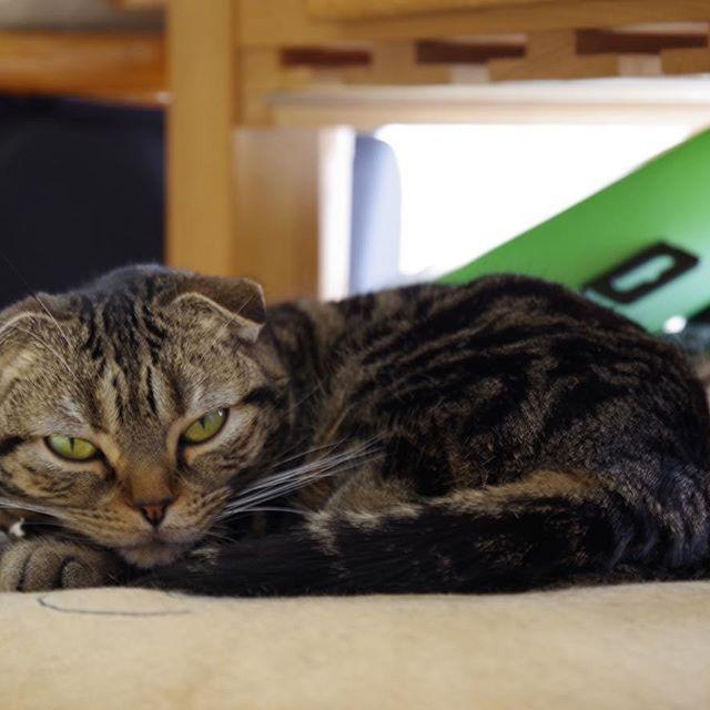 おはよーーー…ってまだ寝てらwww😎💦 ケモノなフレンズは早起きなんじゃないの…。。 まあ今日もクッソ寒いし🐱 さてさて週末。 人間のおまいら行ってらっしゃい。。。zzz🐱 #スコティッシュフォールド #スコティッシュ #scotishfold  #ネコ #ねこ #猫 #cat #愛猫 #にゃんこ #にゃんだふる #ねこ部 #mycat #CatPic #CatPhoto #Catstagram #まだまだ冬の試される北の大地😿