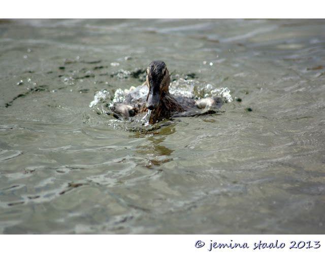 Jemina Staalon Veden vuosi 2: Sorsat suihkulähteellä