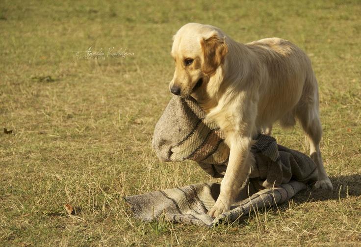 The golden dog