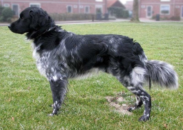 Stabijhoun Or Friese Stabij Canine Companions Dog Died Animals Beautiful