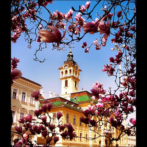 Magnólia és városháza Szegeden / Magnolia and town hall - Szeged, Hungary