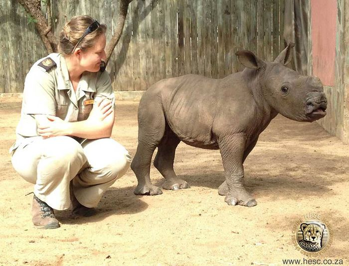 The Hoedspruit Endangered Species Centre rescues a tiny, one month old rhino calf after his mother was killed by poachers.