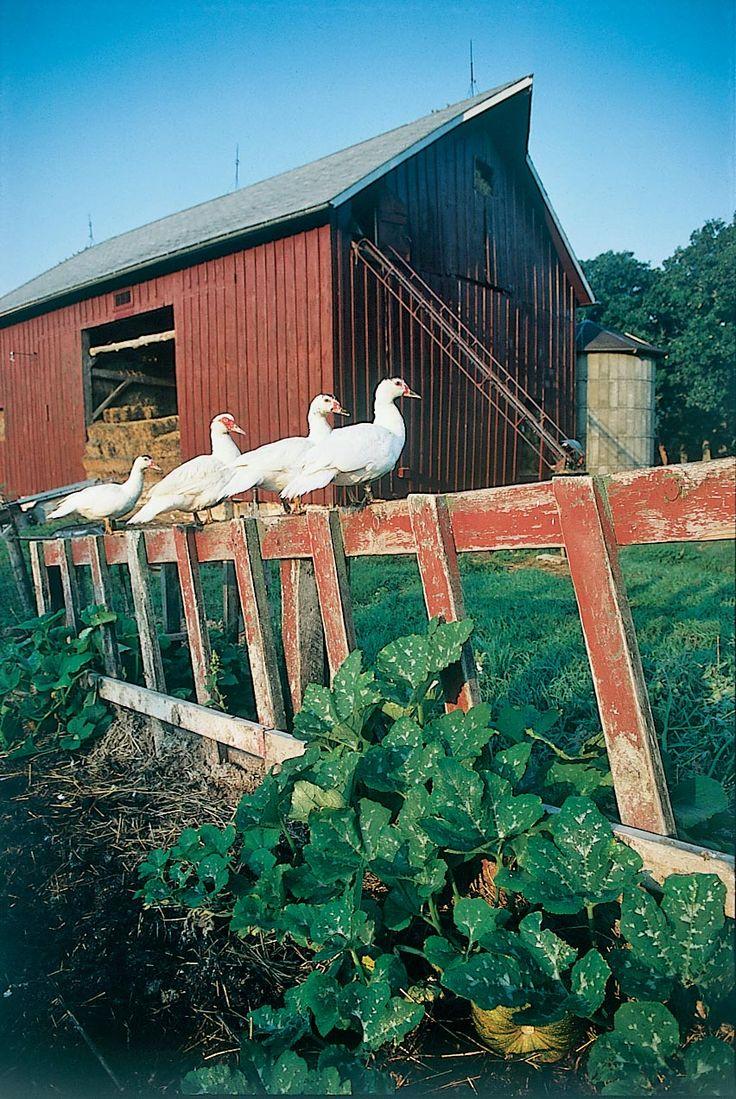 best ducks images on Pinterest Raising ducks Backyard ducks