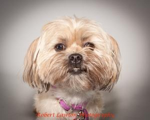 MACY is an adoptable Shih Tzu Dog in Eden Prairie, MN. Macy is a happy, friendly, 2 year old Yorkie – Shih Tzu mix with lots love to give a family! She loves all people, adults and older, respectful...