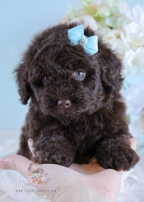 Toy Poodle Puppy For Sale 208 #Poodle