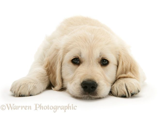 Photograph Of Golden Retriever Pup Lying With Chin On The Floor