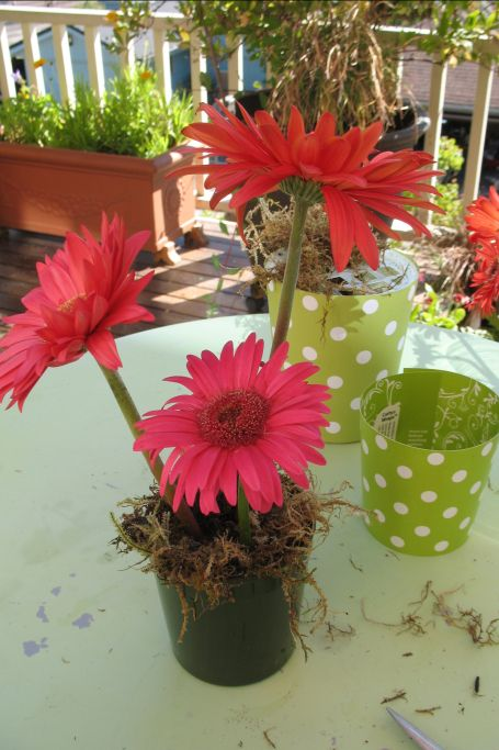 3 Gerbera Daisies in green polka dots