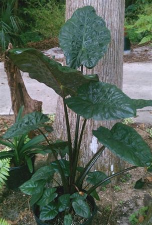 "Alocasia Sarawakensis ""Yucatan Princess"" elephant ear plant"