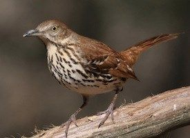 """My favorite song bird. Brown Thrashers are mimics with extremely varied repertoires consisting of more than 1,100 song types. The male sings a loud, long series of doubled phrases with no definite beginning or end, described by some people as """"plant a seed, plant a seed, bury it, bury it, cover it up, cover it up, let it grow, let it grow, pull it up, pull it up, eat it, eat it."""""""