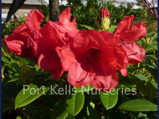 Rhododendron 'Elizabeth Ostbo Red'