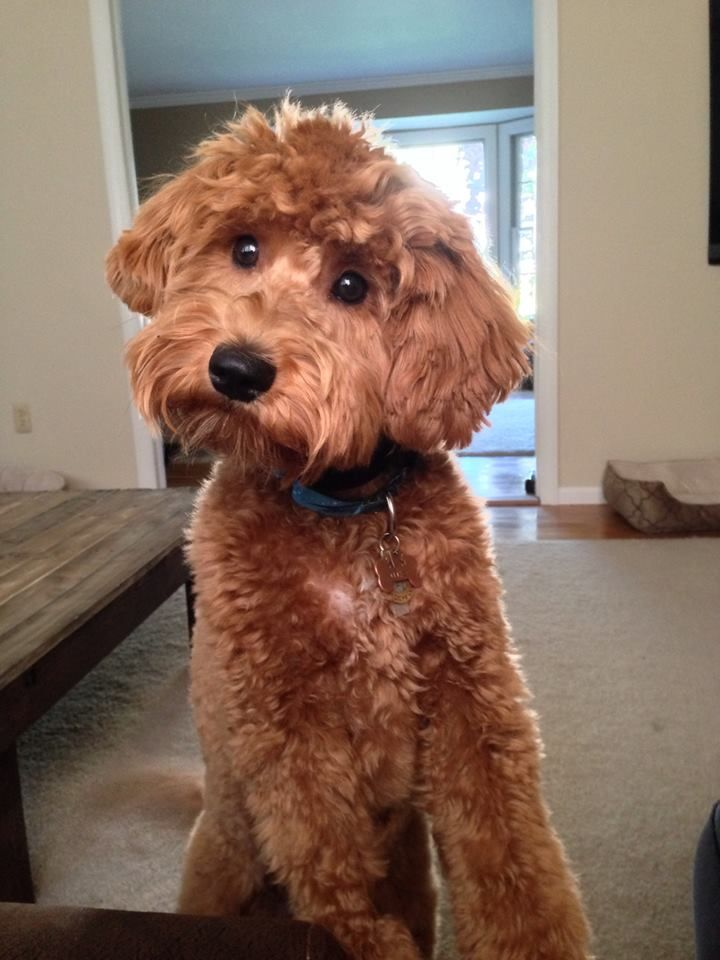 Nike at almost 9 months in September 2014.  He loves fetch with tennis balls.  Red F2b Goldendoodle from River Valley Doodles; Goldendoodle breeder in NY: RiverValleyDoodles@gmail.com