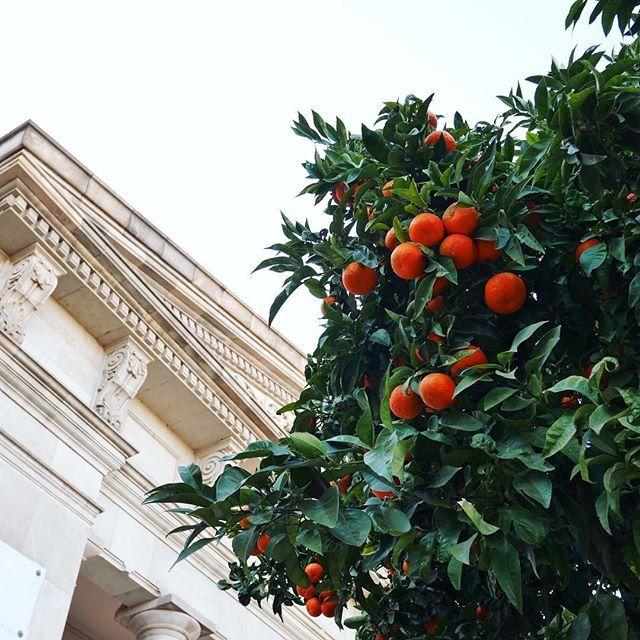 CIUTADELLAHier, nous sommes passées par le Parc de la #ciutadella, et les arbres étaient plein d'oranges amères ✨ Une jolie journée vitaminée à tous #park #trees #sunny #Barcelona #holidays #españa #spain #fun #chill #girl #wanderlust #blogger #traveler #trip #photo #memories #orange