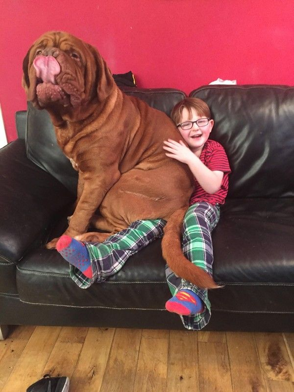 Alfie is 5-year-old Mark Cannon's right-hand man. This 182-pound Dogue de Bordeaux knew his human, Mark, had a severe astigmatism before anyone else and helped guide him around.