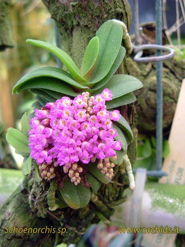 Il genere <i <Schoenorchis comprende 10 specie originarie dell'Asia, dall'Himalaya alla Nuova Guinea. Tutte le specie del genere sono di piccole dimensioni, alcune sono molto miniaturiz…
