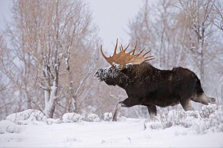 Ook deze eland geniet van de sneeuw in Zweden. #eland #sneeuw #rondreiszweden