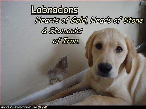 """""""Labradors: Hearts of Gold, Heads of Stone and stomachs of IRON."""" ~ Dog Shaming shame - Who Me???"""