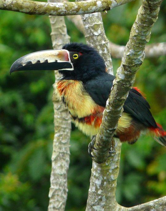 Collared Aracari, Soberania National Park by chaz jackson