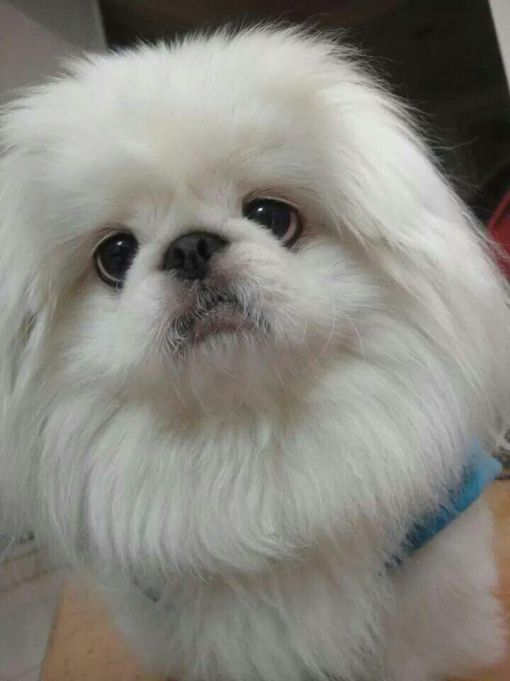So beautiful-Pekingese...I need a 4th dog! Ha!