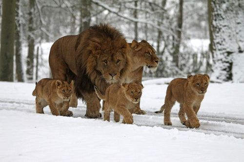 Lion Family in the snow