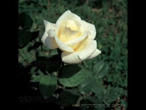 Άσπρο τριαντάφυλλο κρατώ-Αλέκος Κιτσάκης