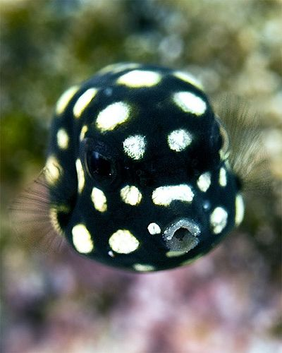 This little guy is a post-larval box fish about the size of a pea...by reef reflections via flickr
