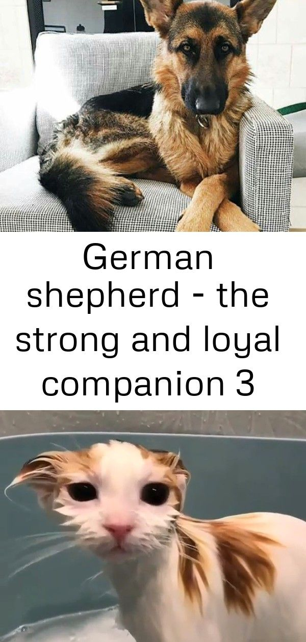 German Shepherd The Strong And Loyal Companion 3 Dog Quotes Cat Facts I Love Cats