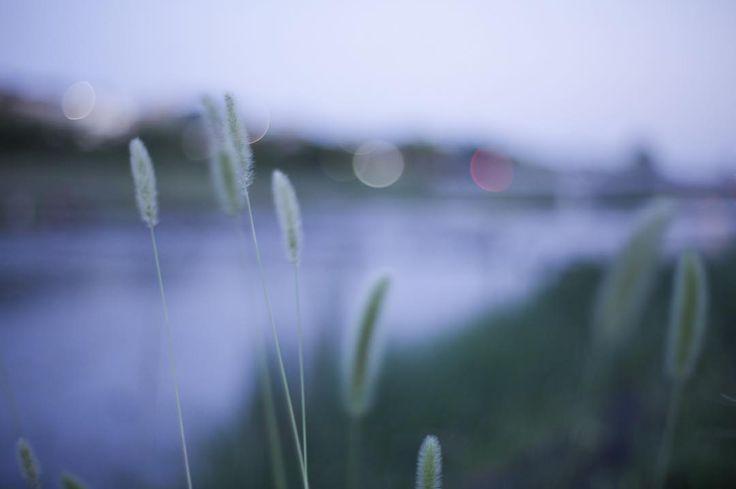 昨日夕暮れ時の鴨川涼しくて気持ちよかった #京都 #鴨川 #ねこじゃらし #川 #夕暮れ #涼しい #旅 #旅行 #京都旅行  #kyoto #kamoriver #river #sunset #photo #travel #trip #kyototrip #kyotostyle