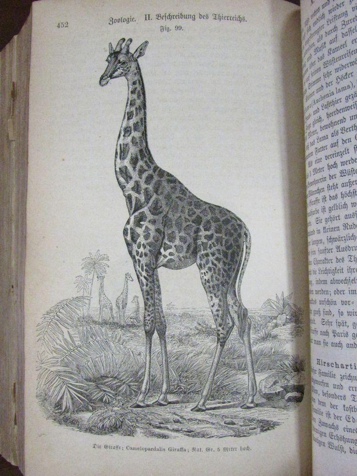 Giraffe from Das Buch der Natur (1875)