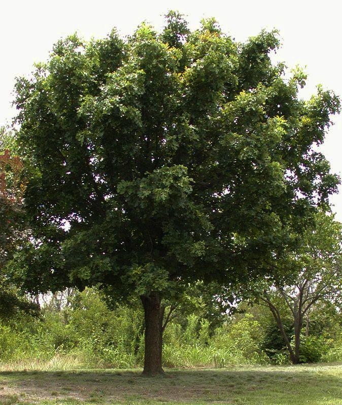 15 best Native Adaptive Trees for Central Texas images on
