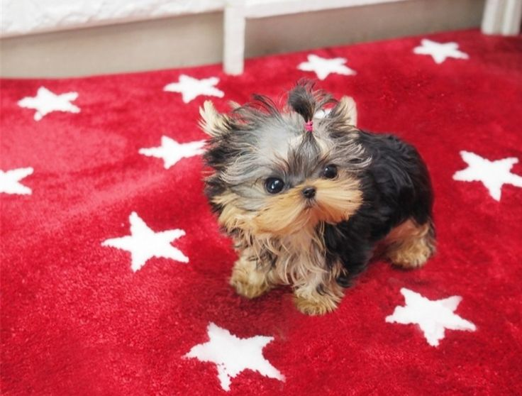 """Yorkie Puppies For Sale . Every puppy comes with health guarantee and Insurance, 12hrs Home Delivery Guaranteed. Any body who said """"You can't buy happiness with money"""" properly never owned a yorkie. Giselle AVAILABLE"""