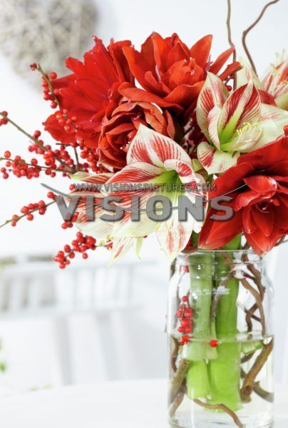 Hippeastrum, Red Nymph