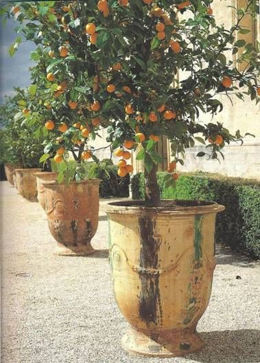 Citrus potted in Urns from Anduze, France, in Provence. - In a bright and warmer indoor space where the air can circulate, Citrus trees can survive Winter in non-tropical climates and can then be moved outdoors in Summer.