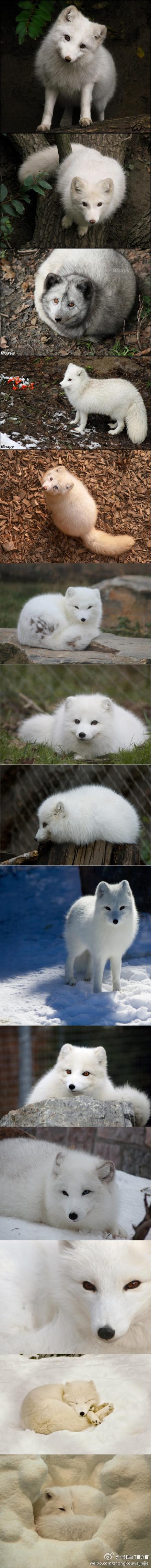 lovelyAnimal Laugh, Polar Foxes, Animals 3, Arctic Foxes