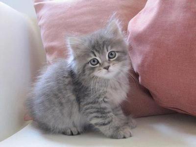 Beautiful kitty! posted by Lady-Gray-Dreams via tumblr - #cat #kitten #kitty tå√