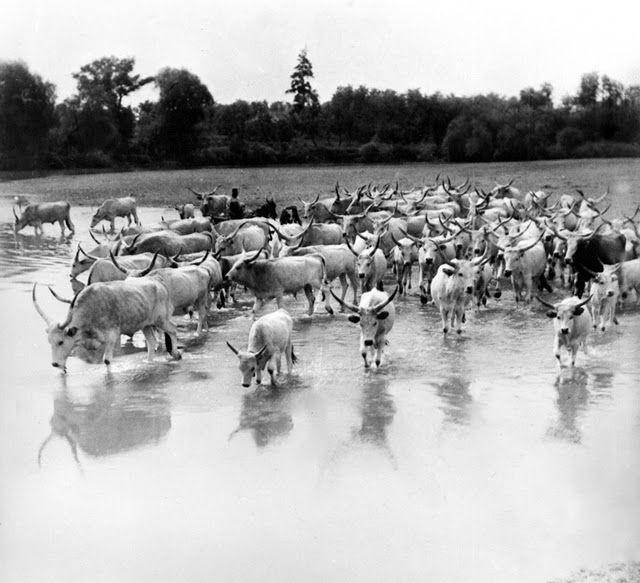 Vadas Ernő: Itatás a Hortobágy folyóban 1937
