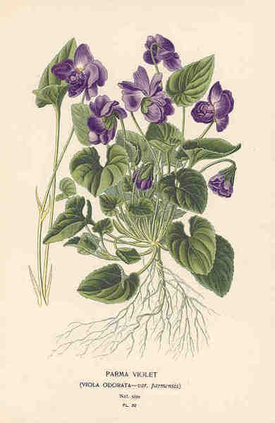 """Parma Violet (Viola odorata) - From """"Favourite Flowers of the Garden and Greenhouse"""" by Edward Step (England, 1896)"""
