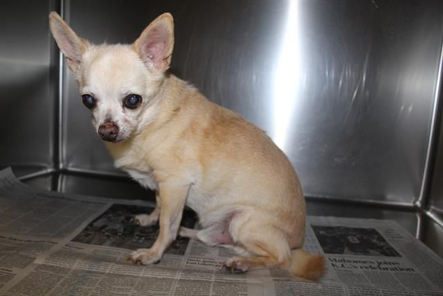 All Dogs Stanislaus County Chihuahua Chihuahua Dogs Pet Adoption